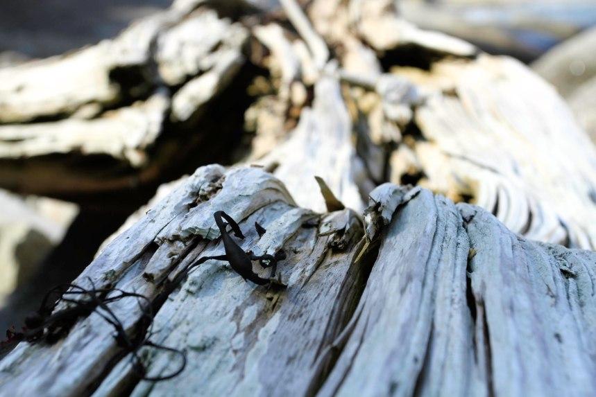 Maine drift wood