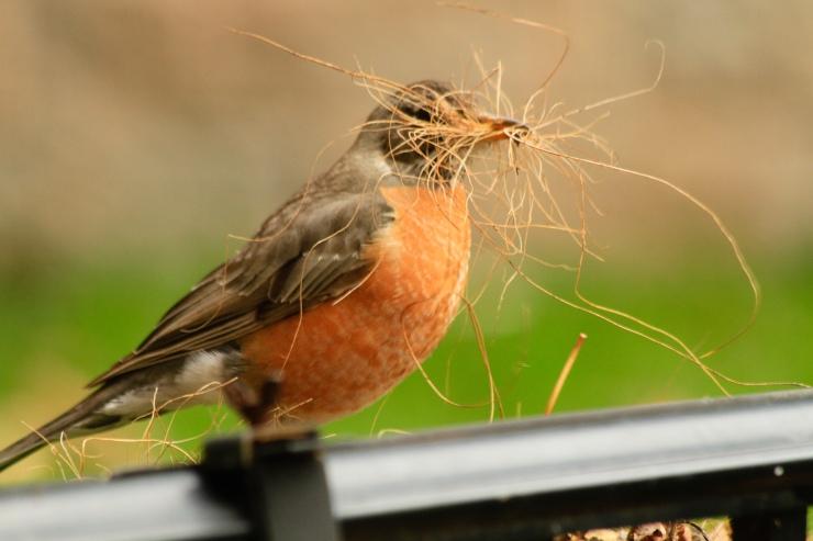 robin nest gathering